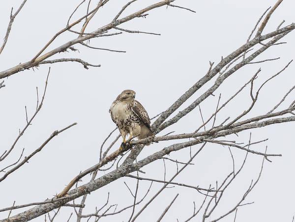 Wall Art - Photograph - Portrait Of A Red-tailed Hawk by Thomas Young