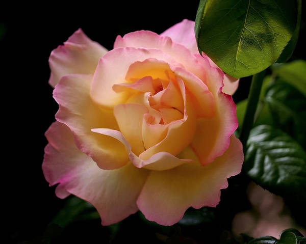 Photograph - Portrait Of A Rose by Rona Black