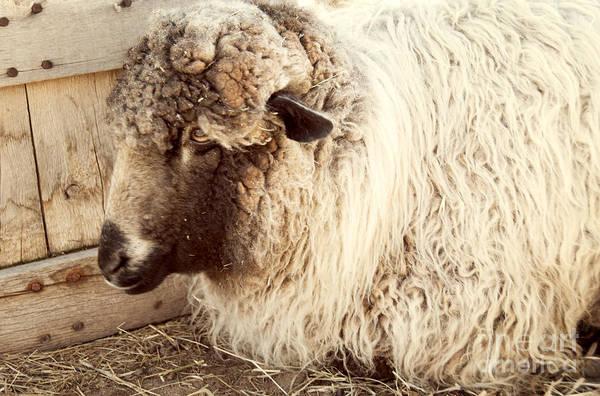 Wall Art - Photograph - Portrait Of A Sheep by Juli Scalzi