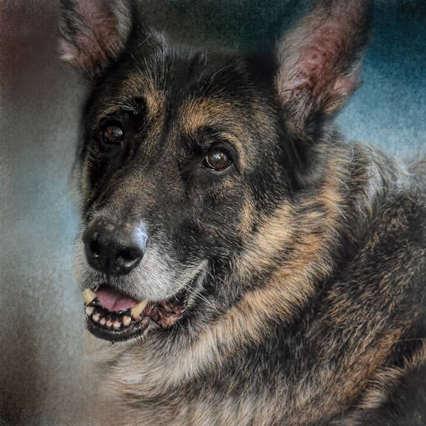Photograph - Portrait Of A Shepherd - German Shepherd by Jai Johnson