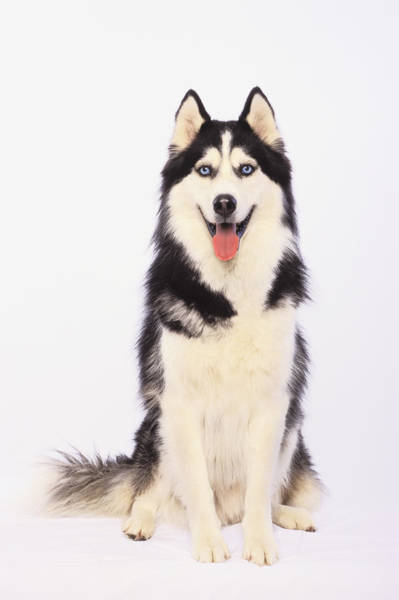 Hurst Wall Art - Photograph - Portrait Of A Siberian Huskybritish by Thomas Kitchin & Victoria Hurst