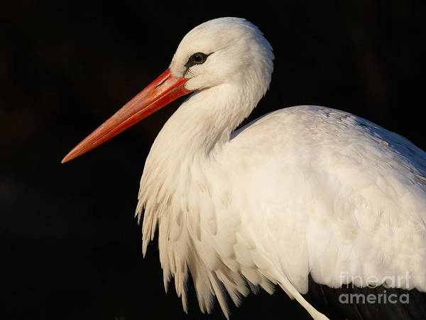 Portrait Of A Stork With A Dark Background Art Print