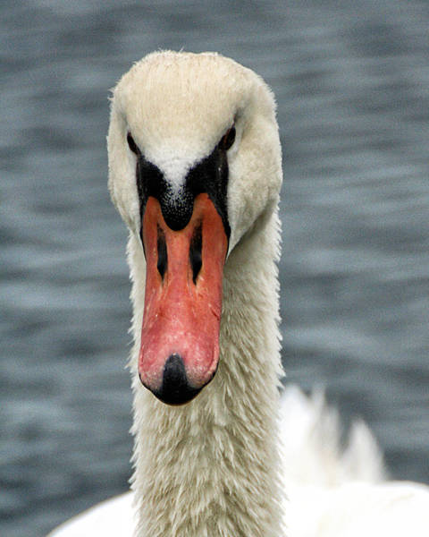 Photograph - Portrait Of A Swan by William Selander