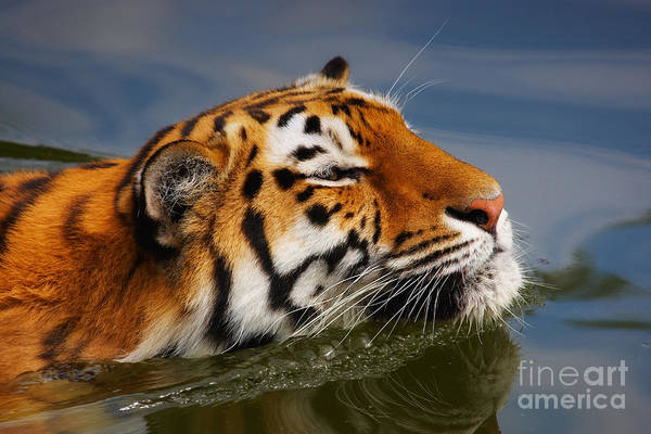 Photograph - Portrait Of A Swimming Siberian Tiger by Nick  Biemans