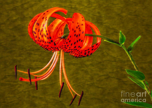 Photograph - Portrait Of A Tiger Lily  by Dave Bosse