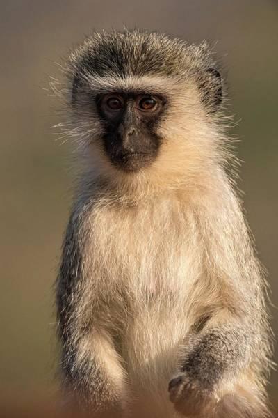 Alert Photograph - Portrait Of A Vervet Monkey by Tony Camacho