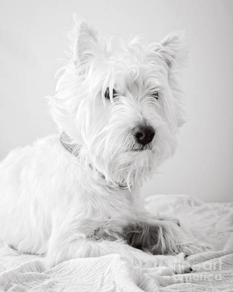 Photograph - Portrait Of A Westie by Edward Fielding