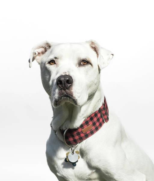 Non Profit Photograph - Portrait Of A White American Bulldog by Amandafoundation.org