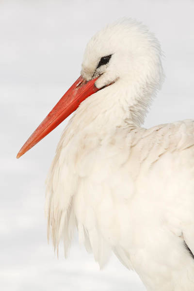 Portrait Of A White Stork In The Snow Art Print