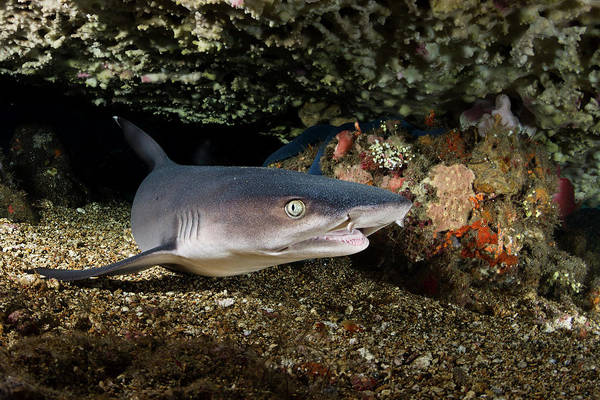 Triaenodon Obesus Photograph - Portrait Of A Whitetip Reef Shark by Alessandro Cere