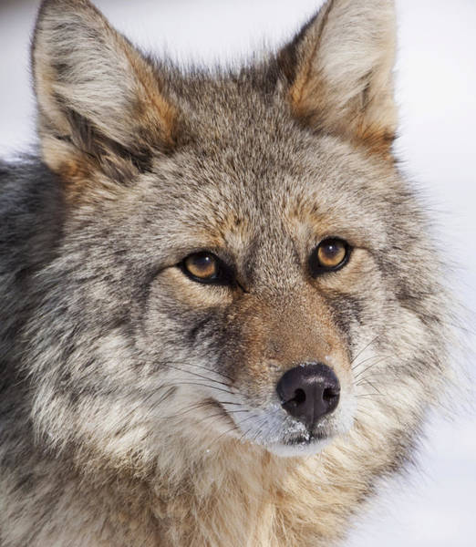 Wall Art - Photograph - Portrait Of A Wild Coyote by Ken Baehr