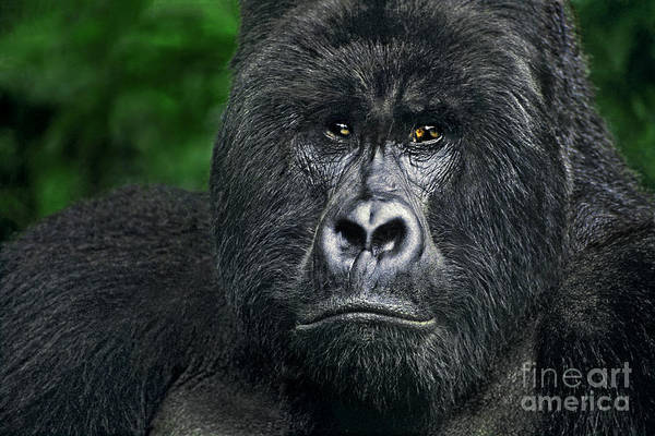 Photograph - Portrait Of A Wild Mountain Gorilla Silverbackhighly Endangered by Dave Welling