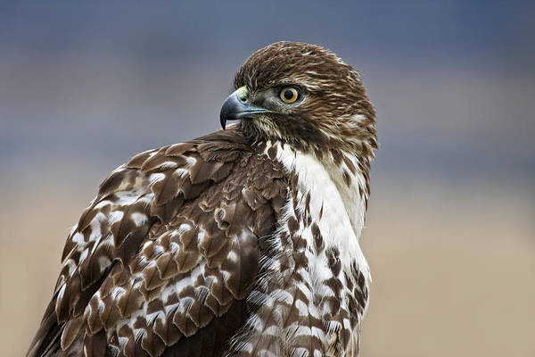 Photograph - Portrait Of A Young Hawk by Wes and Dotty Weber