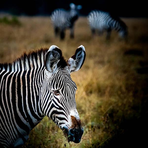 Photograph - Portrait Of A Zebra by Jim DeLillo