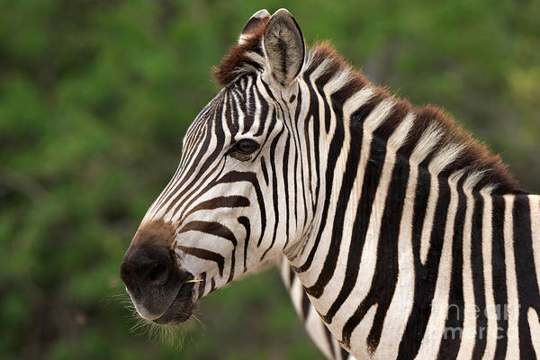 Wall Art - Photograph - Portrait Of A Zebra by Louise Heusinkveld