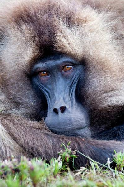Old World Monkey Photograph - Portrait Of An Adult Gelada Baboon by Tony Camacho
