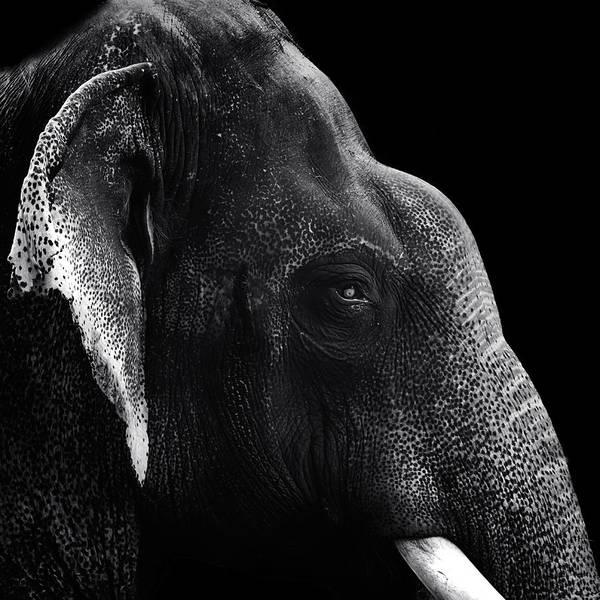 Photograph - Portrait Of An Elephant by Mahesh