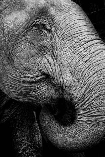 Photograph - Portrait Of An Elephant by Www.neilblakely.com