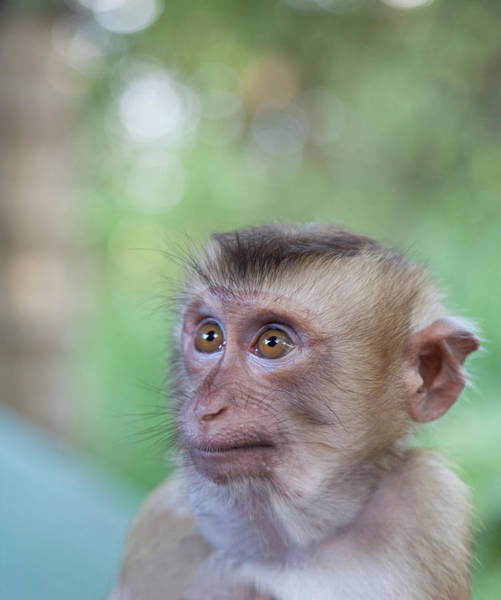 Adolescence Photograph - Portrait Of Attentive Young Macaque by Derek E. Rothchild