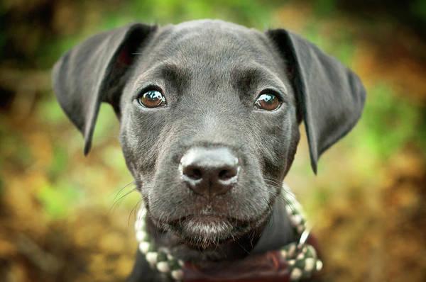 Gainesville Photograph - Portrait Of Black Lab Puppy by Hillary Kladke