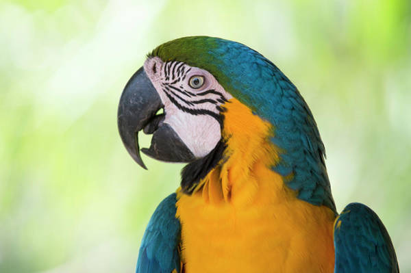 Macaw Photograph - Portrait Of  Blue-and-yellow Macaw by Berndt Fischer