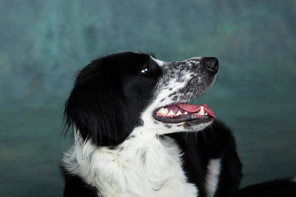 Collie Photograph - Portrait Of Border Collie Mix Dog by Animal Images