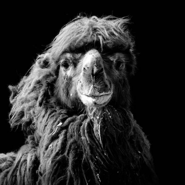 Color Photograph - Portrait Of Camel In Black And White by Lukas Holas