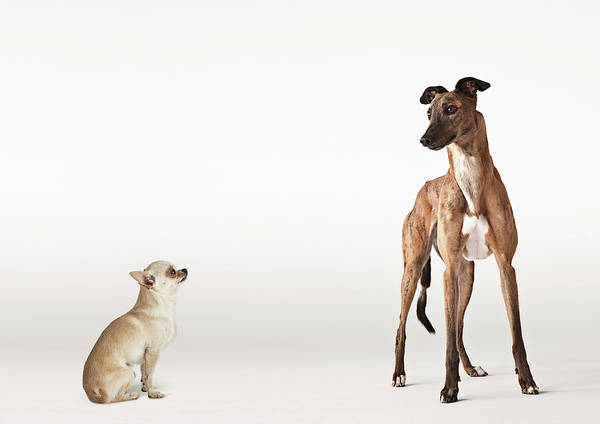 Chihuahua Photograph - Portrait Of Chihuahua And Greyhound by Compassionate Eye Foundation/david Leahy
