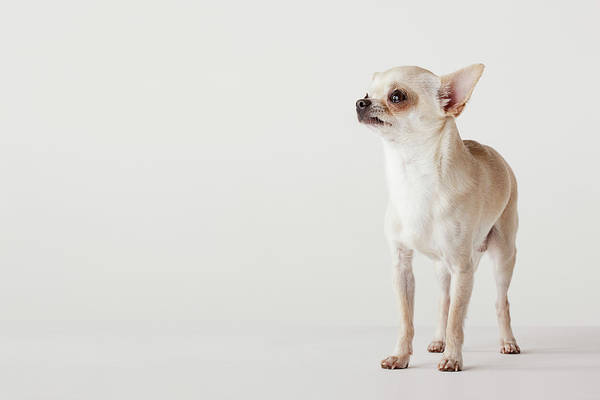 Chihuahua Photograph - Portrait Of Chihuahua Standing by Compassionate Eye Foundation/david Leahy