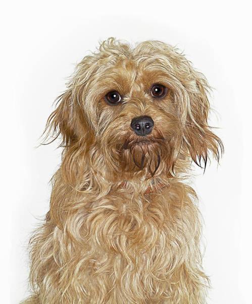 Poodle Photograph - Portrait Of Cockapoo Dog by Gandee Vasan