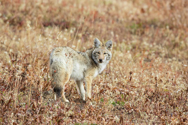 Wall Art - Photograph - Portrait Of Coyote Canis Latrans by Animal Images