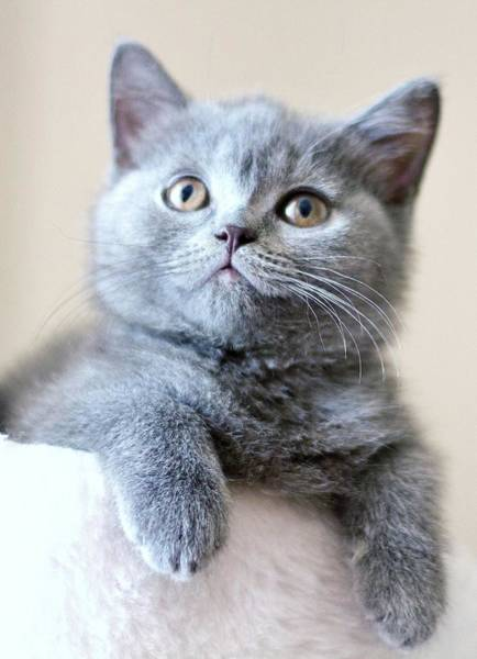 Gray Hair Photograph - Portrait Of Cute Cat by Ozcan Malkocer
