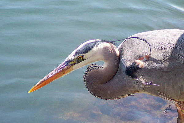 Photograph - Portrait Of Great Blue Heron by Ben and Raisa Gertsberg