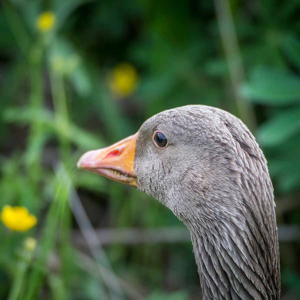 Gosling Wall Art - Photograph - Portrait Of Greylag Goose, Iceland by Panoramic Images