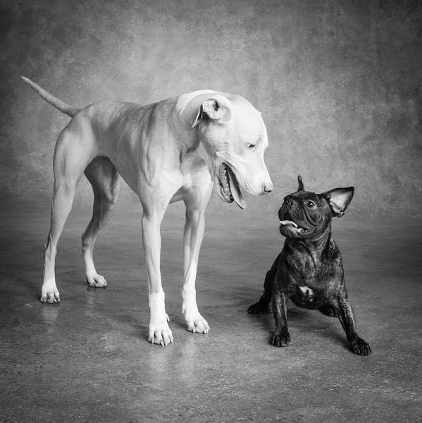 Black Lab Photograph - Portrait Of Lab Hound Mix Dog And Pug by Animal Images