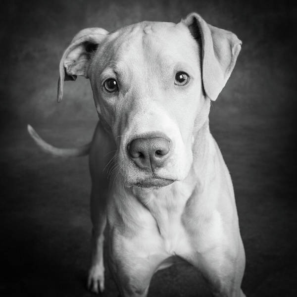 Black Lab Photograph - Portrait Of Lab Hound Mix Dog by Animal Images