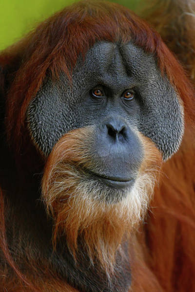 Orangutan Photograph - Portrait Of Orangutan Male by @michi B.