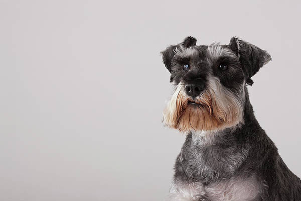 Schnauzer Photograph - Portrait Of Schnauzer, Headshot by Compassionate Eye Foundation/david Leahy