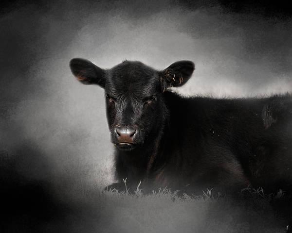 Farm Animals Photograph - Portrait Of The Black Angus Calf by Jai Johnson