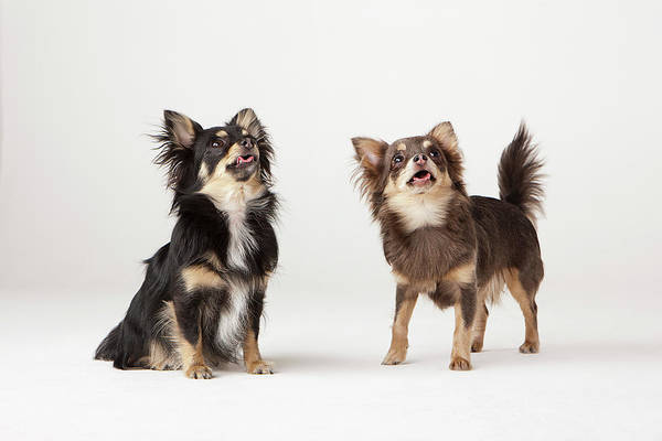 Chihuahua Photograph - Portrait Of Two Chihuahuas by Compassionate Eye Foundation/david Leahy