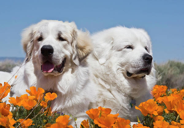 Great Pyrenees Photograph - Portrait Of Two Great Pyrenees Lying by Zandria Muench Beraldo