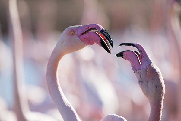 Phoenicopterus Roseus Wall Art - Photograph - Portrait Of Two Pink Flamingoes by Raffi Maghdessian