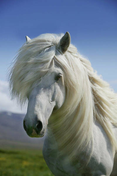 Wall Art - Photograph - Portrait Of White Icelandic Horse by Animal Images