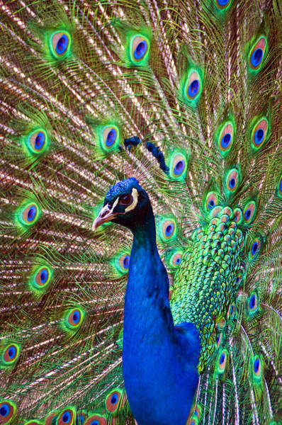 Photograph - Portrait Peacock by Ross G Strachan