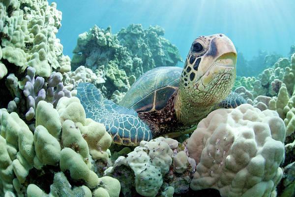 Big Island Photograph - Portrait Sea Turtle by M Swiet Productions