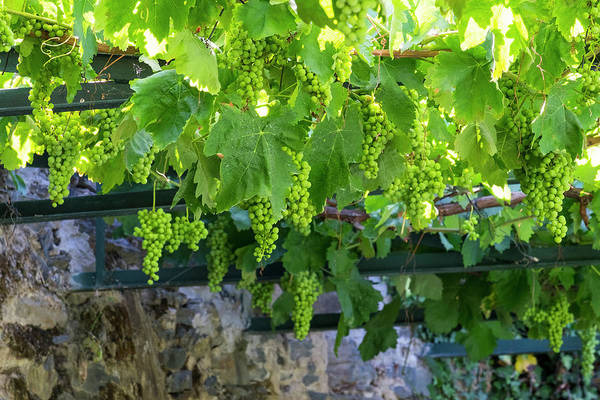 Douro Wall Art - Photograph - Portugal, Douro Valley, Grapes by Emily Wilson