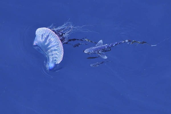 Photograph - Portuguese Man O War And Fish by Bradford Martin