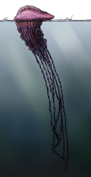 Siphonophore Photograph - Portuguese Man O War, Illustration by Spencer Sutton