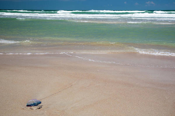 Siphonophore Photograph - Portuguese Man O' War On A Beach by Jim West/science Photo Library