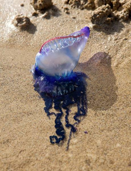 Siphonophore Photograph - Portuguese Man-of-war by Pascal Goetgheluck/science Photo Library